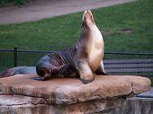 Sea Lion At Zoo