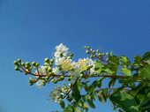 stock photo of crepe myrtle  - White Crape myrtle flowers and buds on the tree with blue sky - JPG