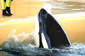 Killer Whale Feeding