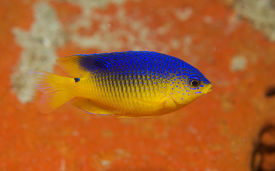 picture of damselfish  - Juvenile Cocoa Damselfish picture taken in south east Florida - JPG