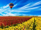 South of Israel, spring day. Farmer field of flowering red and yellow ranunculus. Light cirrus clou poster