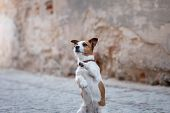 Little Jack Russell Terrier In The City. Pet For A Walk In The City. Dog Journey. Healthy Lifestyle poster