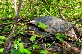 Blandings Turtle In Illinois