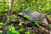 Blandings Turtle In Illinois