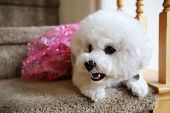 Bichon Frise. Purebred Bichon Frise Dog. Small White dog. 10 lb. female bichon frise dog. Pet Portra poster