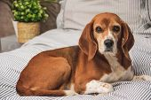 Dog In Owners Bed Or Sofa. Lazy Beagle Dog Tired Sleeping Or Waking Up. Dog Resting Comfortably Look poster