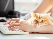 Man Is Typing At The Computer Keyboard. Cute Ginger Cat Dozing On Mans Hand. Furry Pet Cuddling Up T poster