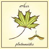 Colored Maple Leaf. Vector Vintage Colored Engraved Illustration Of Maple Leaf. Green Leaf On Begie  poster
