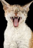 Yawning Cornish Rex Cat