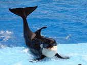 Killer Whale- (Orca Whale)