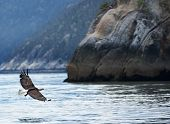 Bald Eagle Glides Over Glacier Bay Near Skagway - Alaska.