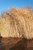 Golden Reeds Waving In The Wind