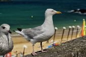 Gull On Stone Parapet