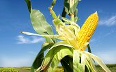 picture of corn cob close-up  - Corn close - JPG