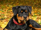 Rottweiler Pup Lying On The Ground In Forest