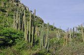 Cactos paisagem vista na ilha de Aruba