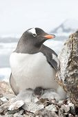 Female And Gentoo Penguin Chicks.