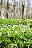 picture of birchwood  - The first spring flowers in a birchwood - JPG