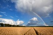 Rainbow Over Wheat Field After Storm