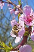Bee on peach flower