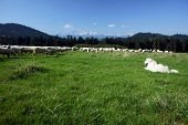 picture of pieniny  - Tatra Shepherd and flock of sheep in the Pieniny - JPG