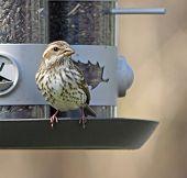 Female House Finch On Feeder