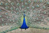 Indian Peafowl Pavo cristatus (Asiatic)with tail feathers displayed in courtship ritual