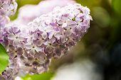 Lilac Flowers Of Light Purple Color