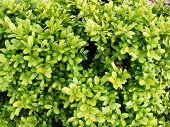 Buxus Sempervireus