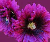 Burgandy Hollyhock Blossoms
