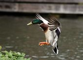 stock photo of male mallard  - A male Mallard Duck coming into land - JPG