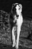 large Russian Borzoi hound, monochrome effect