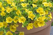 Yellow Petunia (Petunia) flowers in a pot