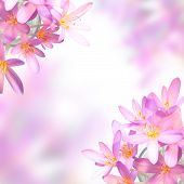 Pink Saffron Crocus Flowers On Soft Colorful Background