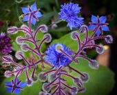 stock photo of borage  - Blue Borage and cornflower flowers closeup photo background - JPG