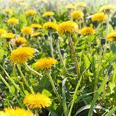 Yellow Summer Dandelion Closeup Photo