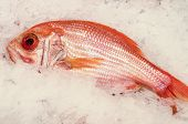 foto of red snapper  - Fresh red snapper lies on a bed of ice at the famous Pike Place Market in Seattle - JPG