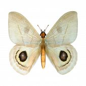 image of peep  - 3D digital render of a peeping tom butterfly isolated on white background - JPG