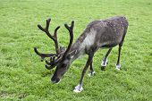 Grey classic reindeer with antlers grazing on summer grass