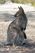 stock photo of wallaby  - Bennett Wallaby with a joey in its pouch - JPG