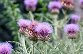 pic of welts  - Flower of Thistle purple on the background of a green Park - JPG