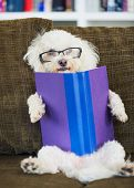 Cute Dog Reading Book at Home on Couch with Glasses