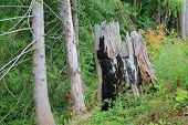 Charred Cedar Stump In Pacific Northwest Forest