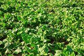 stock photo of rutabaga  - Sugar beets with green beetroot leave growing in field - JPG