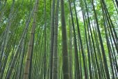 Low Shot Of Bamboo Grove