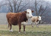 pic of calves  - Two cows - JPG
