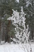 stock photo of frostbite  - Twig of grass rime covered in forest