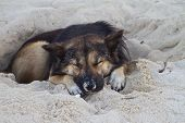 Dog Sleeping At The Beach Of The Koh Ngai Island Thailand