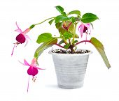Flowering Of The Mini Fuchsia In A Small Pot