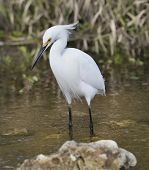 Snowy Egret (Egretta thula) ,Walking In Water